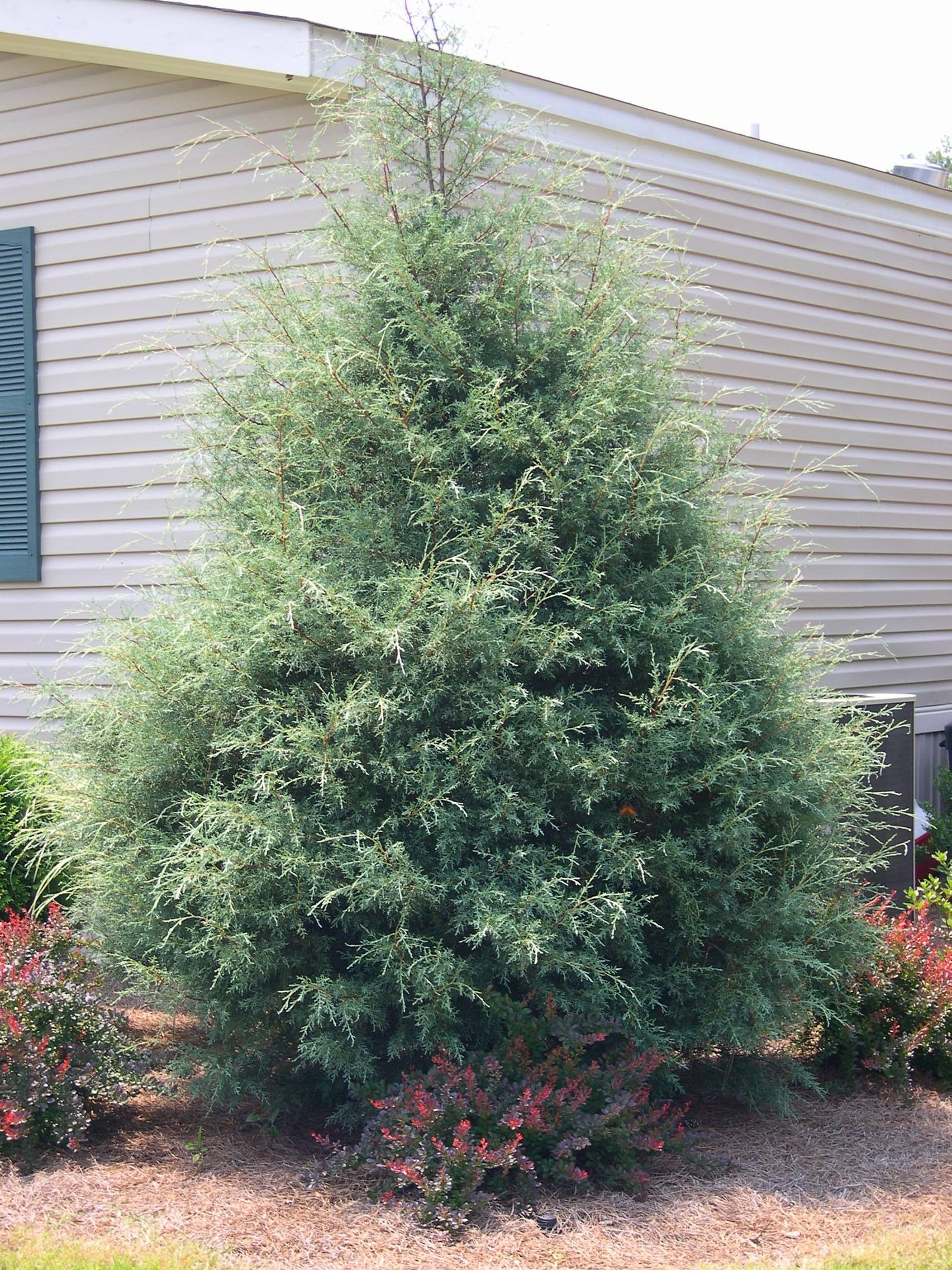 Cypress Carolina Saphire Cupressus Arizonica Shire Loose Airy Broad Pyramid Of Silver Blue Excellent Specimen Or Screen