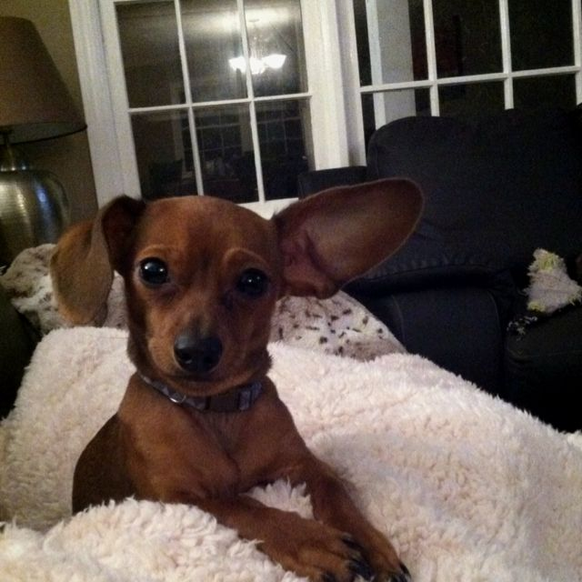 chiweenie  he looks just like my baby  i might be getting rid of him
