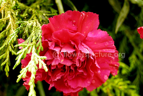 Common Name Dianthus Pink Red Pink Carnation Botanical Name Dianthus Caryophyllus Family Caryophylla Perennial Plants Dianthus Caryophyllus Pink Carnations