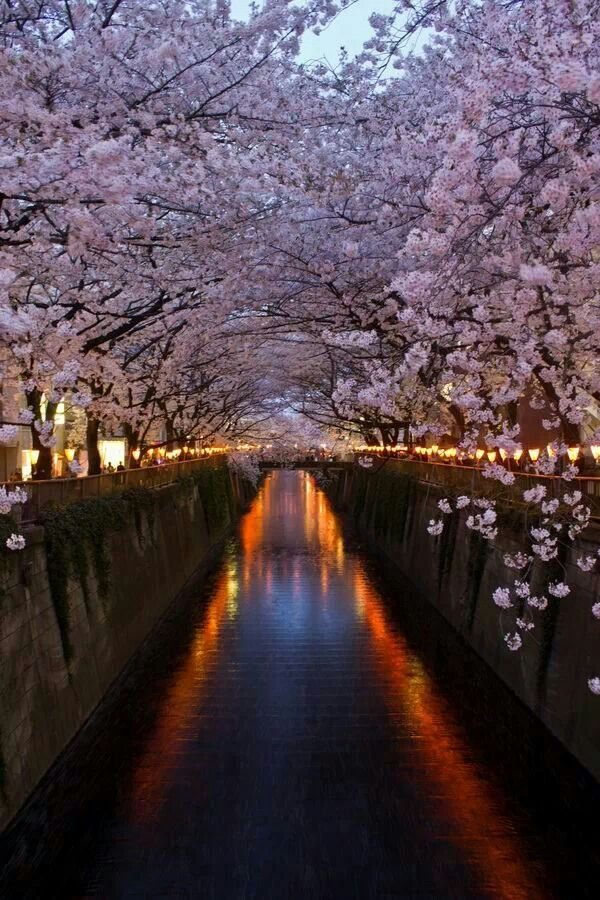 Cherry blossom lined Meguro river