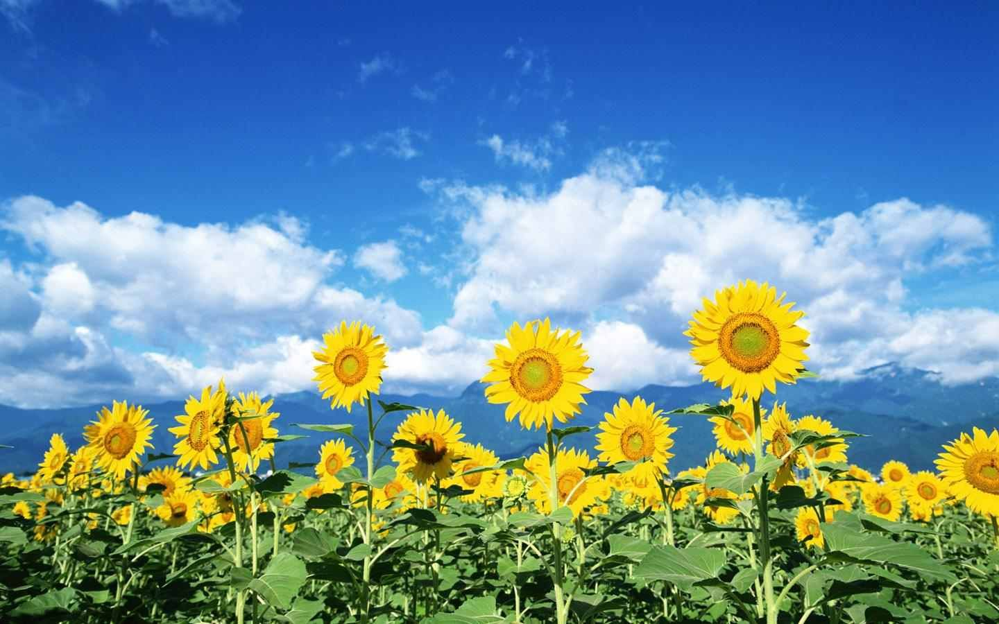 Sunflower Computer Wallpaper Bing images Sunny Sunflowers