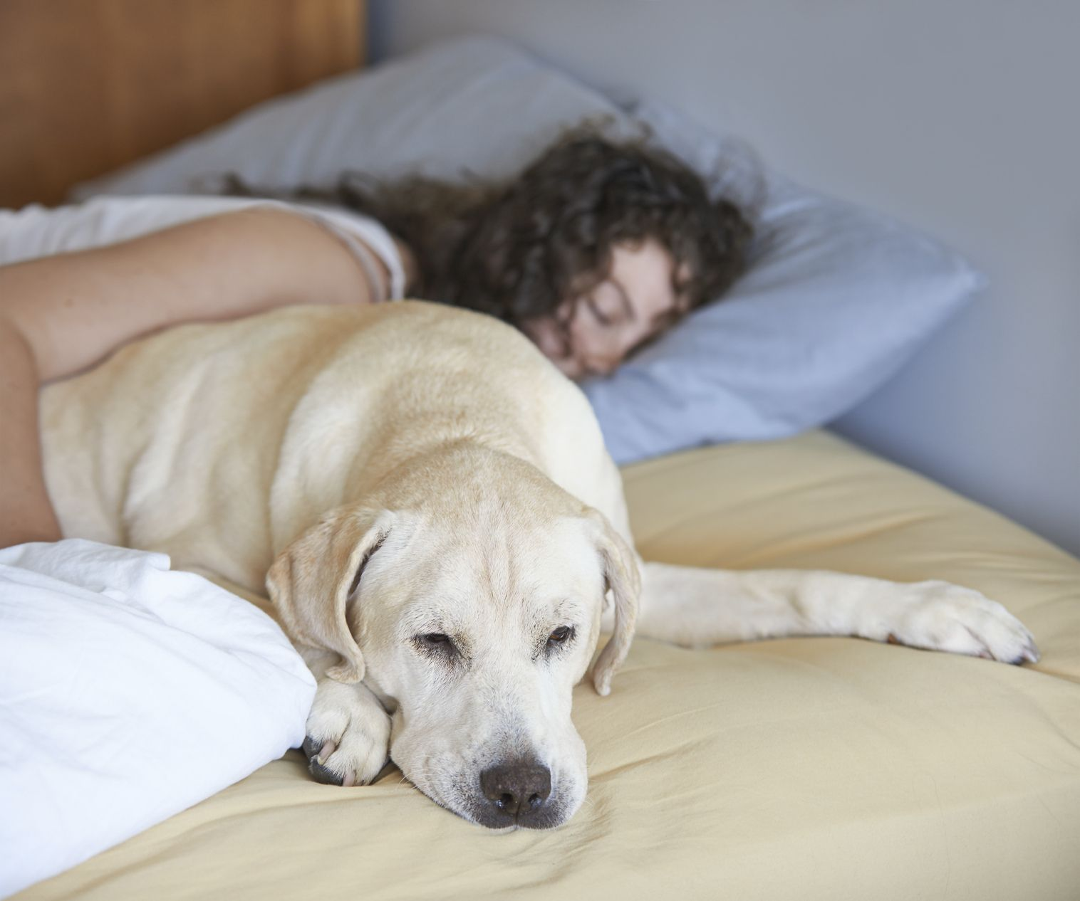 Is It Healthy To Share A Bed With Your Dog Labrador Puppy Pets Three Dog Night