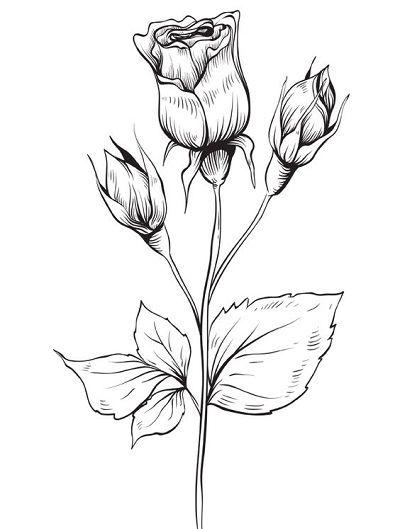 Menggambar Bunga Mawar : menggambar, bunga, mawar, Sketsa, Bunga, Terbaik, Sketsa,, Menggambar, Bunga,
