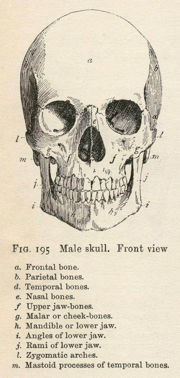 Vintage Anatomy Clip Art On Pdf Bones Skull Halloween Printable