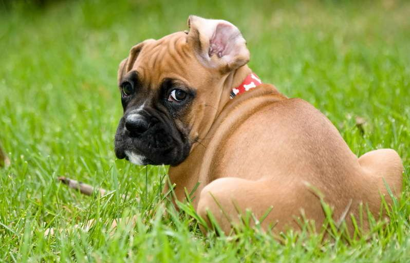 Pin by Lisa's Garage on Dogs Mastiff mix, Boxer mastiff