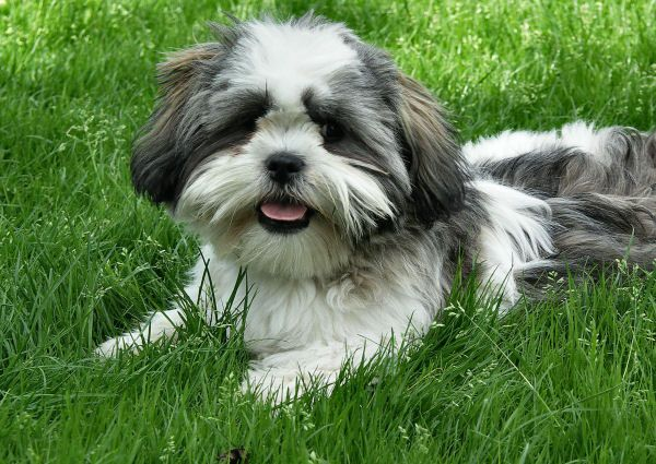 Know These Things If You Plan To Own A Cute Shih Tzu Shih Tzu Daily Honden Hondjes Huisdieren