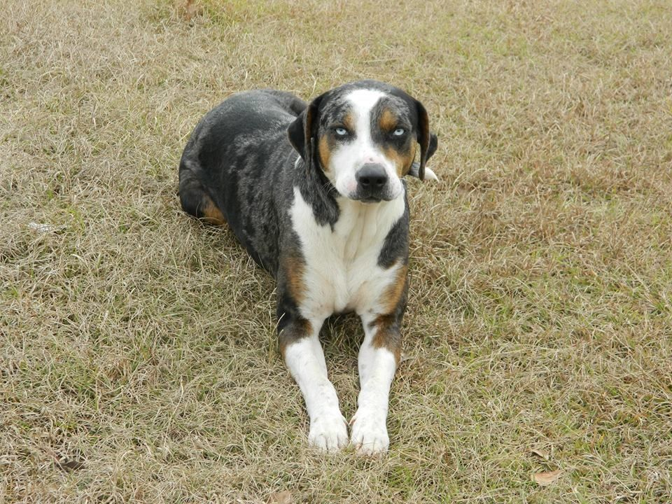 Harley. 2 yrs old. Catahoula puppies, Catahoula cur, Puppies