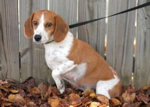 Betty Is An Adoptable Beagle Dog In Nashville Tn You Can Fill