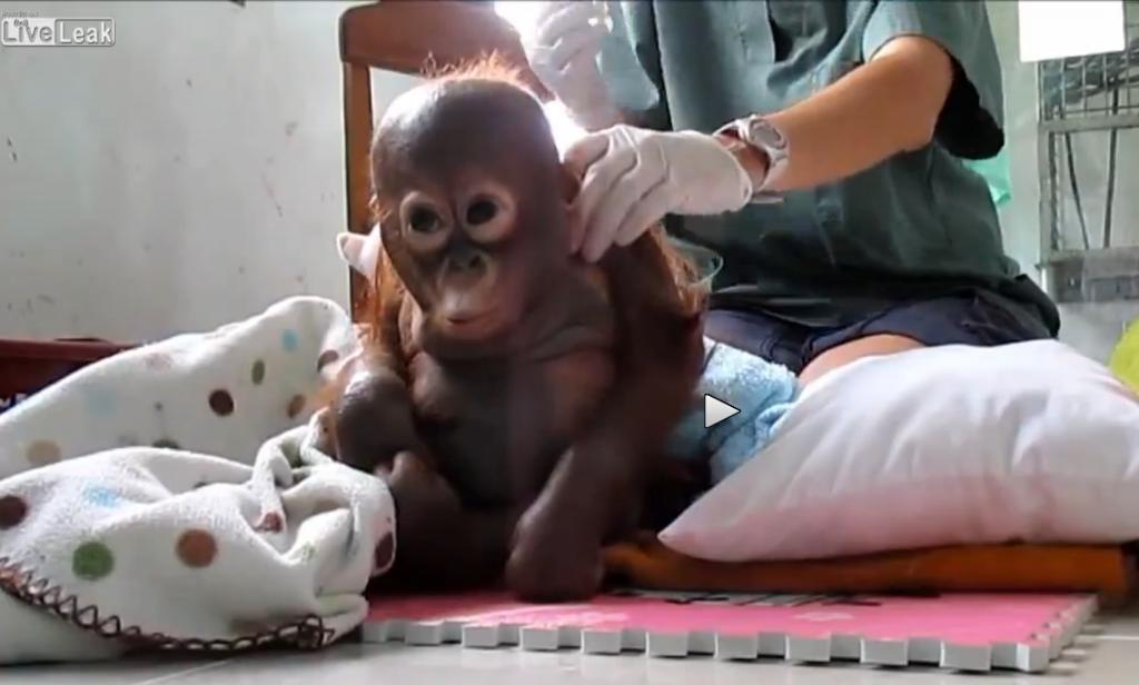 ANIMAL ADVOCATE Ⓥ on | Orangutans | Baby orangutan