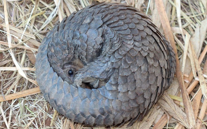 Pangolins 13 facts about the world's most hunted animal
