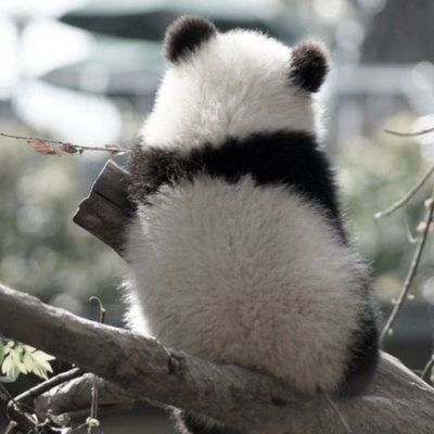 Pin By Carol O Walker On صور Panda Giant Panda Panda Bear