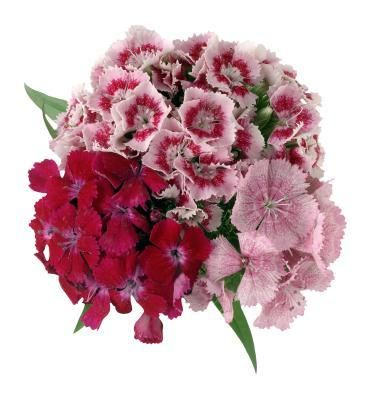 Types Of Sweet William Flowers Sweet William Flowers Dianthus Flowers Plants