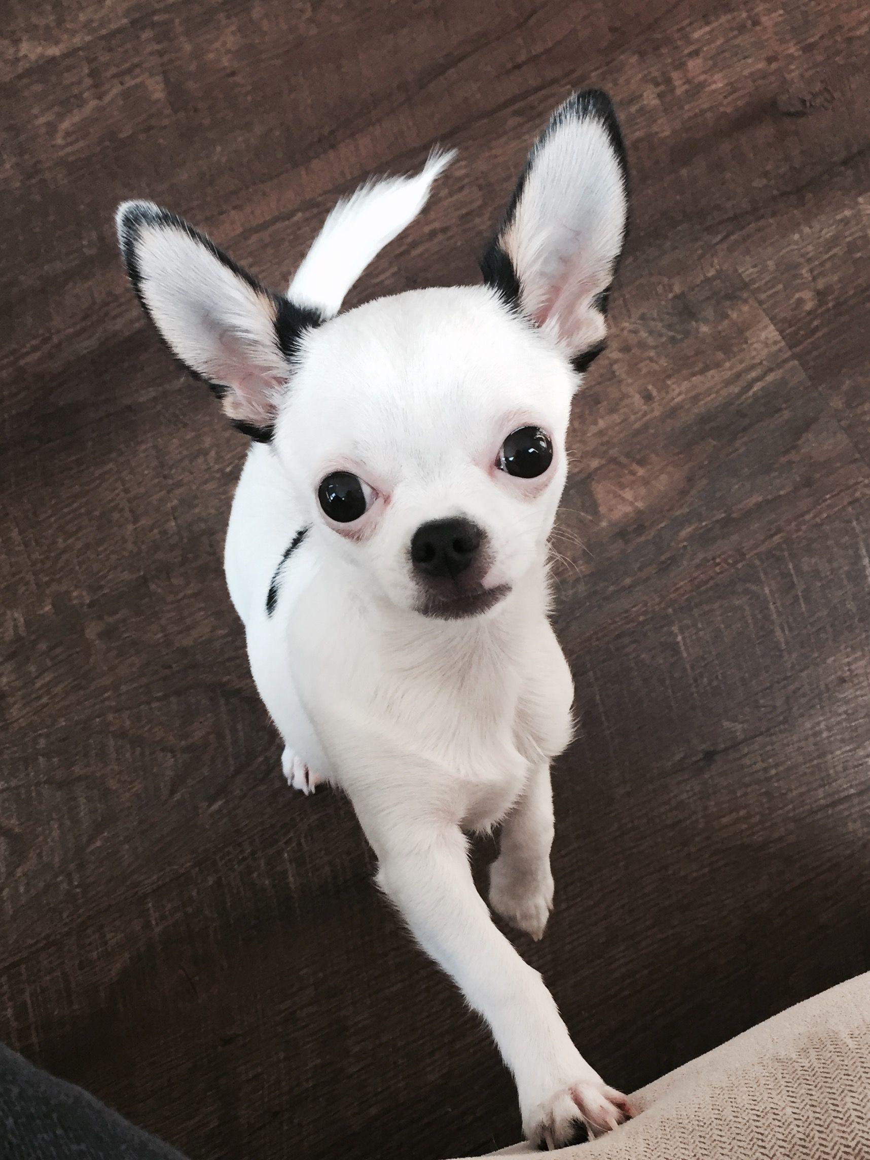 My Precious Chihuahua Will