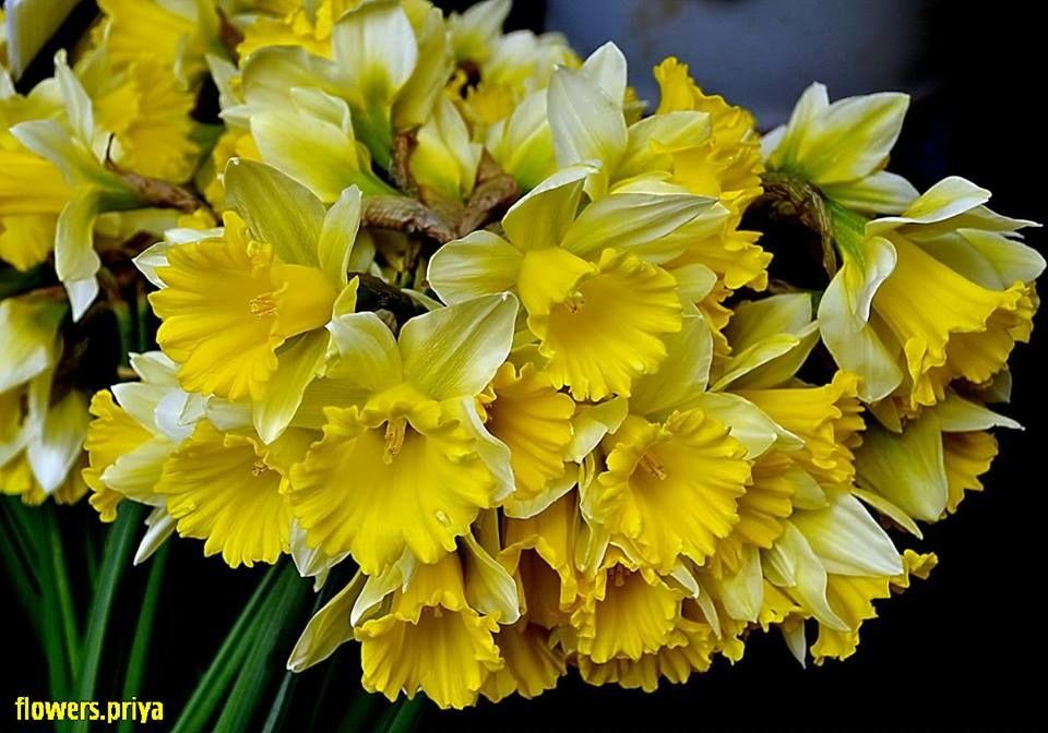 Facebook Daffodils Daffodil Flower Garden Trees