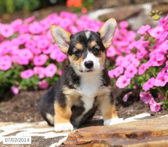 Welsh Corgi Pembroke Puppy For Sale In Pennsylvania Welsh
