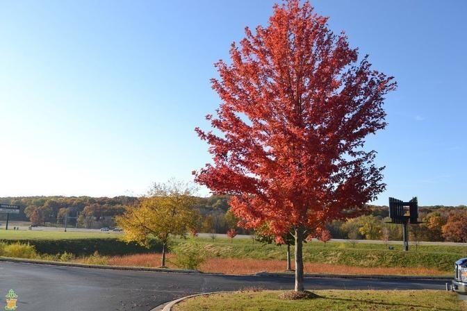 Autumn Blaze Maple Autumn Blaze Maple Fast Growing Trees Shade Trees