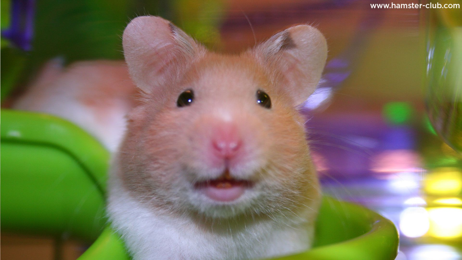 Smiling Hamster Best small pets, Cute hamsters, Baby hamster