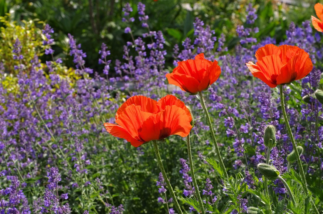 Common zone 5 perennials perennial flowers for zone 5