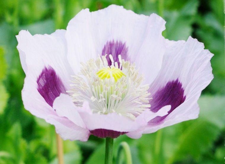 Poppy Flower Seeds For Sale Buy Bulk Poppy Flower Seeds For Sale