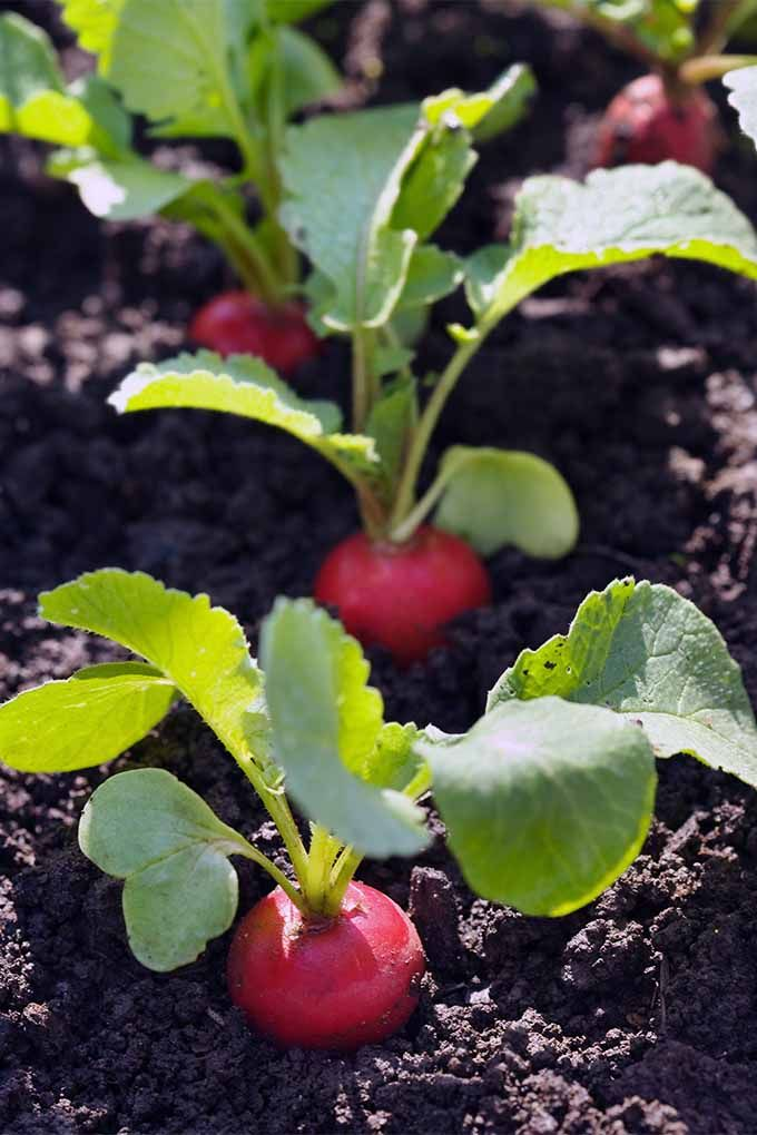 How To Grow Radishes In Your Veggie Patch Small 400 x 300
