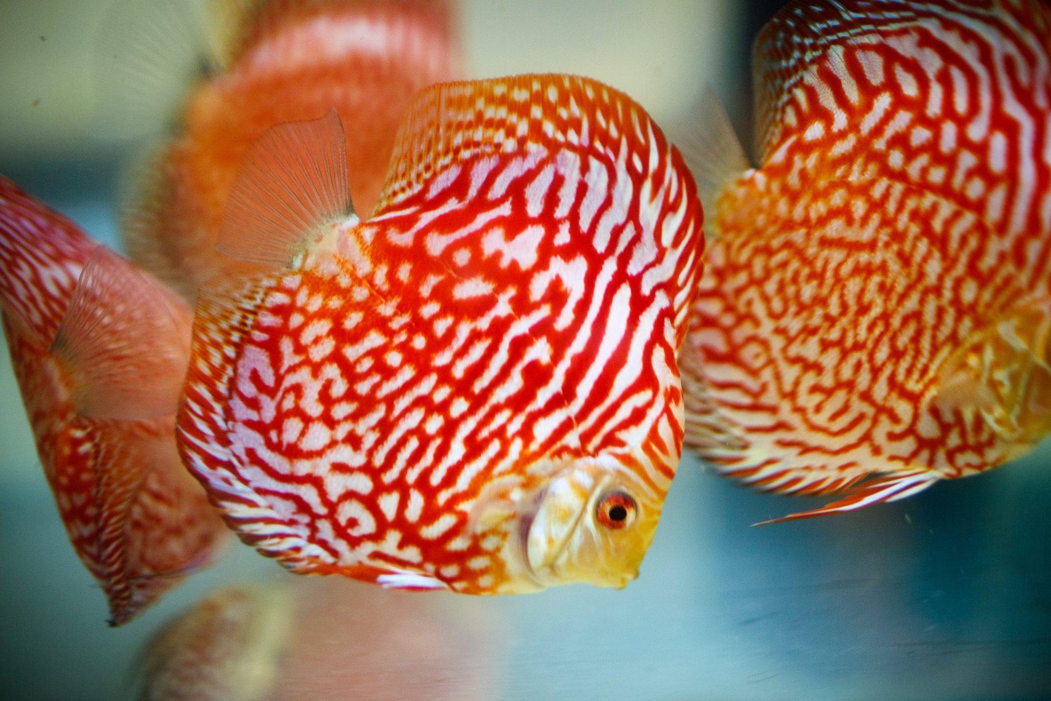 Discus Pigeon Red Tiger Tropical Fish Aquarium Freshwater Aquarium Aquarium Fish