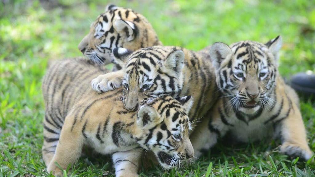 Nacen 4 tigres de bengala en cautiverio en El Salvador