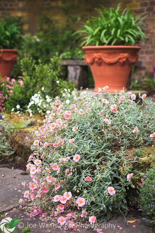 A helianthemum tumbles over a low sandstone step in the Flag Garden, at Arley hall, Cheshire.