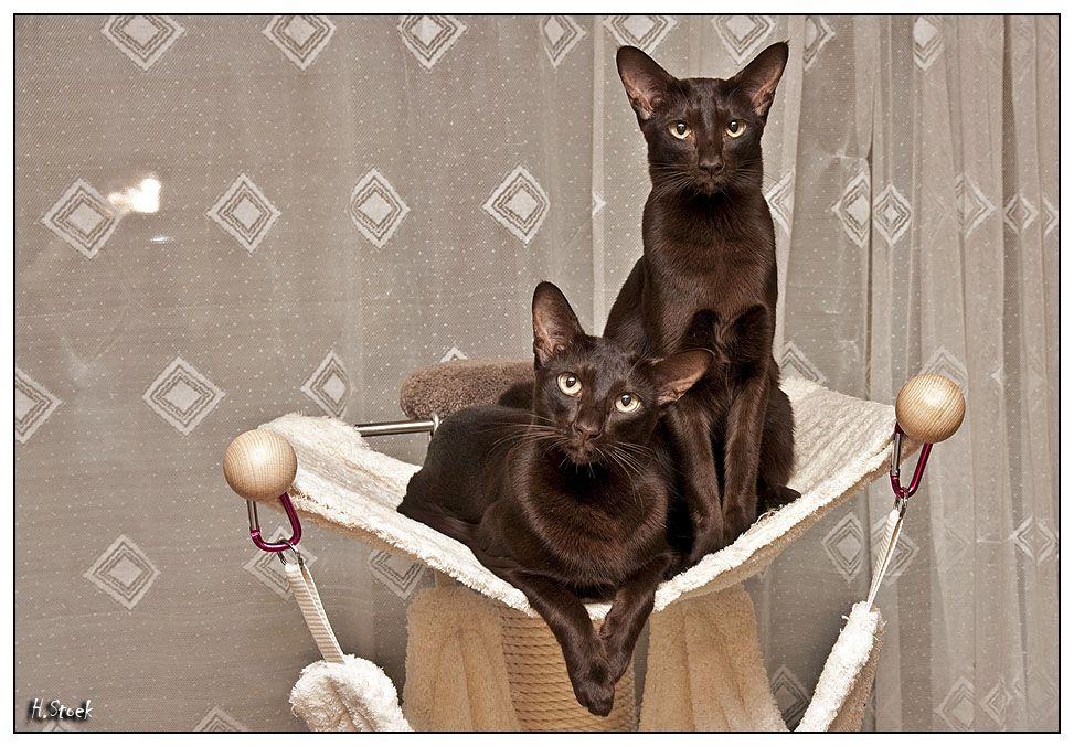 Oriental Cat Oriental Cat Oriental Shorthair Cats Oriental Cat Breeds