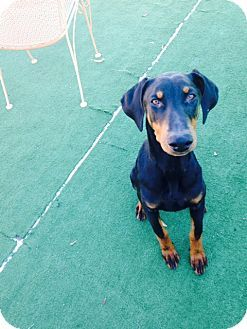 Dallas Tx Doberman Pinscher Mix Meet Becks A Puppy For