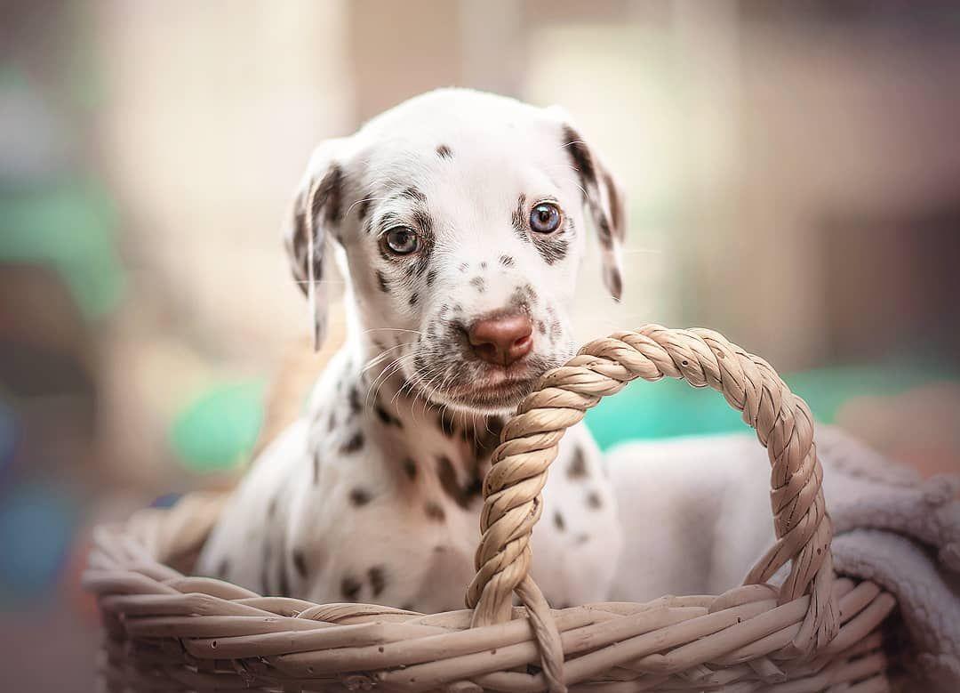 Konnen Hunde Nicht Fur Immer So Klein Tollpatschig Und Suss Bleiben Nur Bitte Ohne Piranhazahne Wahrend Des Fotoshootings Fanden Die Welpen Es Ganz Toll