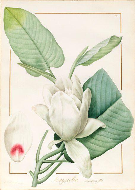 Clipart Digital Download PNG Vintage Flower Illustration 1812