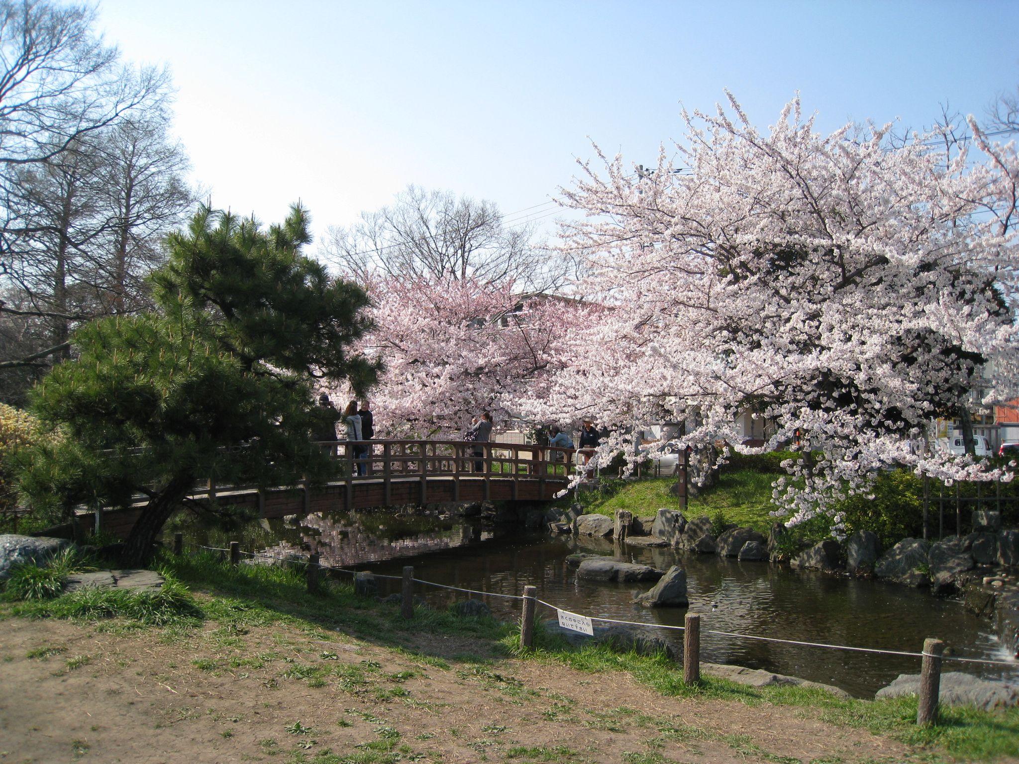 桜(sakura)、Cherry Blossom、My photo