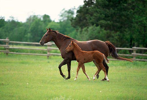 quarter horse - Animal Stock Photos - Kimballstock