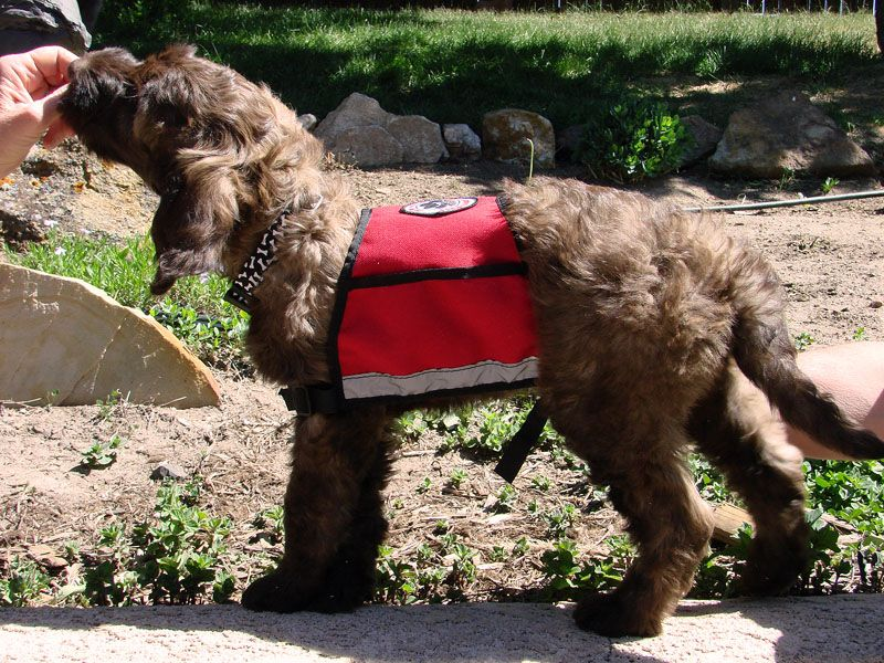 Red Rock Doodles Kiva Paw Pals Assistance Dog In Training