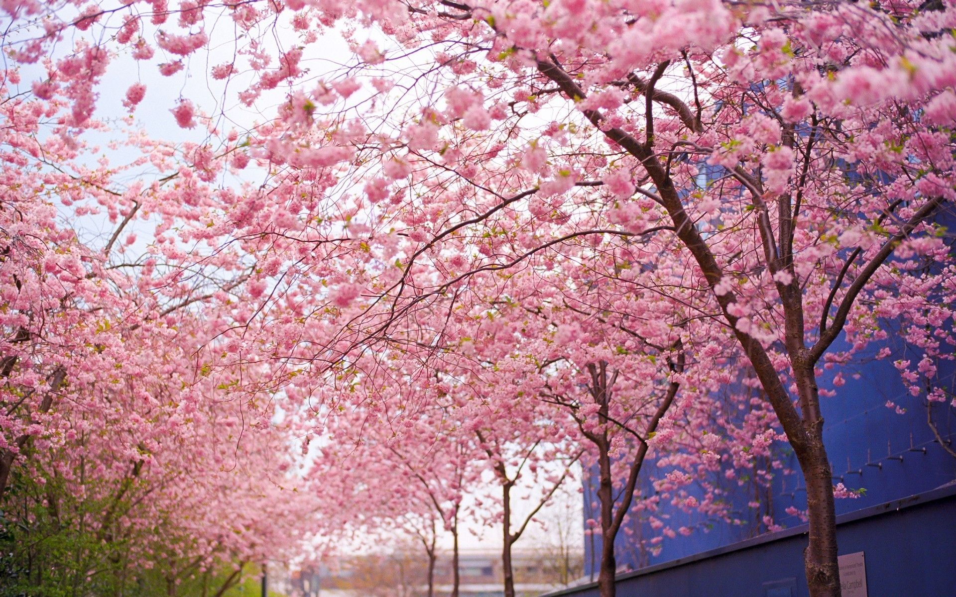 1920x1200 Landscape Photography Stunning Tree Gallery Trees Tree 1920a 1200 Cherry Blossom Spring Wallpaper Spring Flowers Wallpaper Cherry Blossom Wallpaper