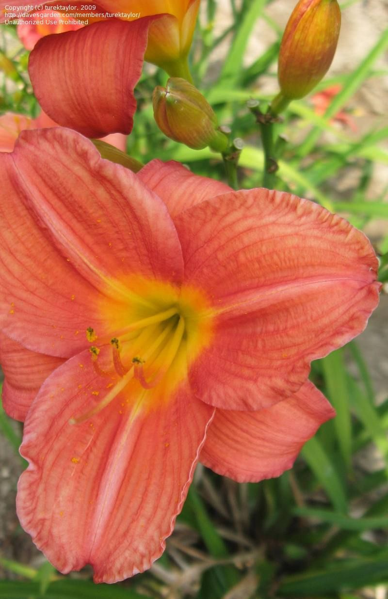 Mini Daylily Hemerocallis Mexican Maiden Apps 1985 Daylily
