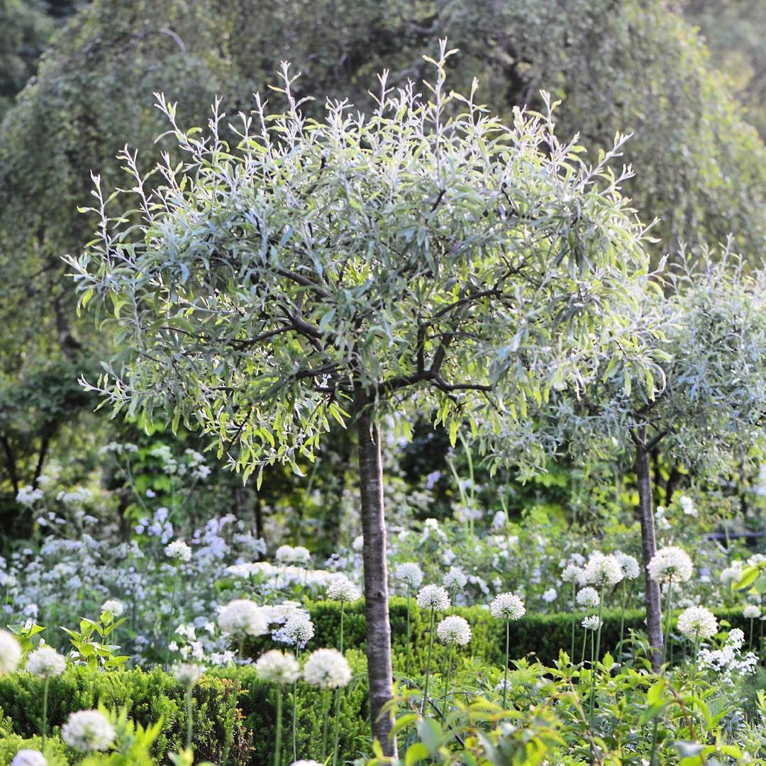 An amazing tree, which I love. The botanic name is Pyrus salicifolia. In Denmark ve call it Nordens oliven - the olive if the north #flowers #have #garden #blomster #clausdalby