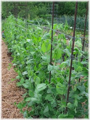 easy vegetables and herbs to direct sow john scheepers kitchen rh pinterest com Ralph Scheepers Scheepers Ivanovic