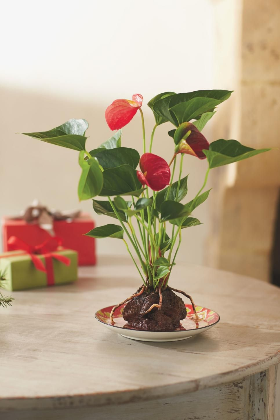 Holiday Houseplants Houseplants Peace Lily And Christmas Cactus