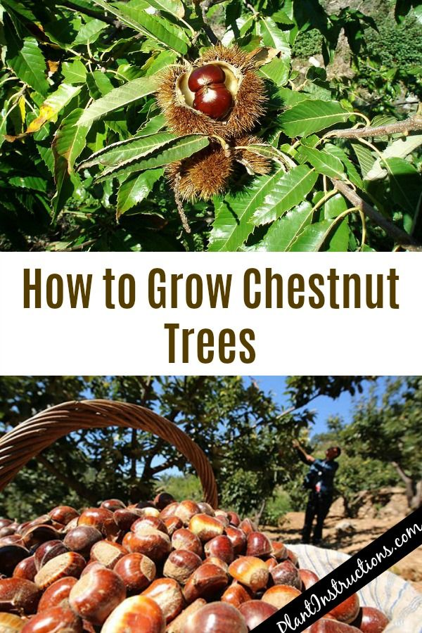 How To Grow Chestnut Trees Fruit Trees In Containers Fruit