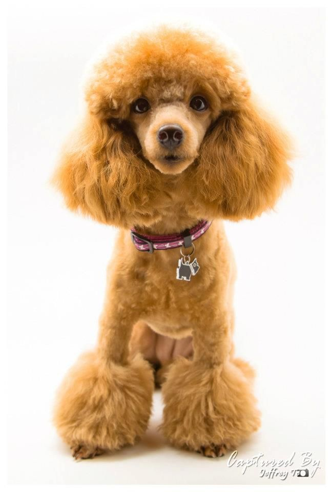 Lady In Miami Poodle Forum Standard Poodle Toy Poodle