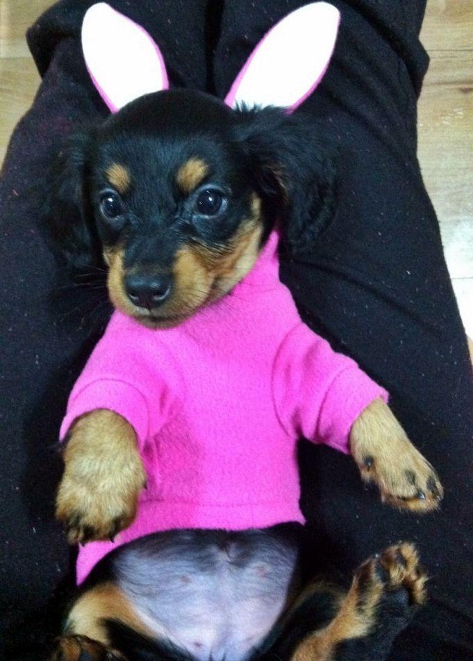 Daschund Daschie Puppy Cute Adorable Bunny Rabbit Pink Funny Sweet