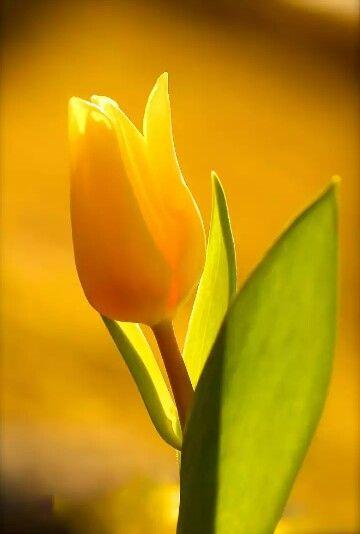 صباح الورد اﻷصفر Beautiful Flowers Tulips Flowers Yellow Tulips