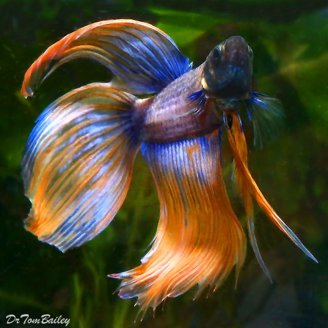 15 list different types of betta fish with pictures for List of fish that can live with bettas