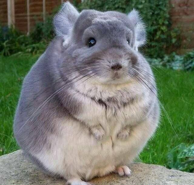 Psbattle Chinchilla With Thick Coat Of Fur Photoshopbattles Cute Animal Photos Cute Animals Cute Baby Animals