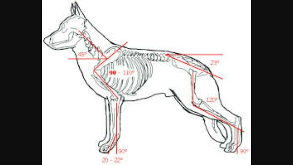 gsd bone structure | Caring for German Shepherd | Pinterest | German ...