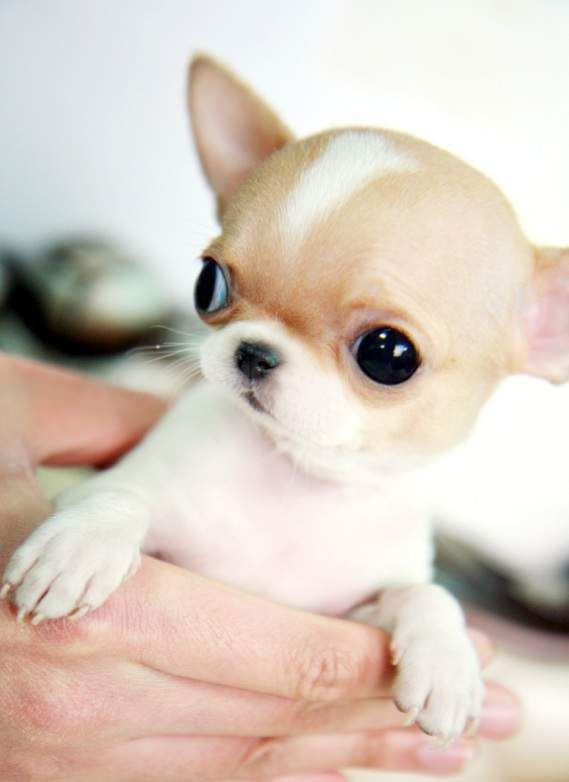 Pictures of Teacup Chihuahua Breeds - #rock-cafe