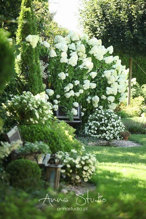 Photo of Limelight hortensia og kalk surfinie i år … Hverken hun eller de endnu …
