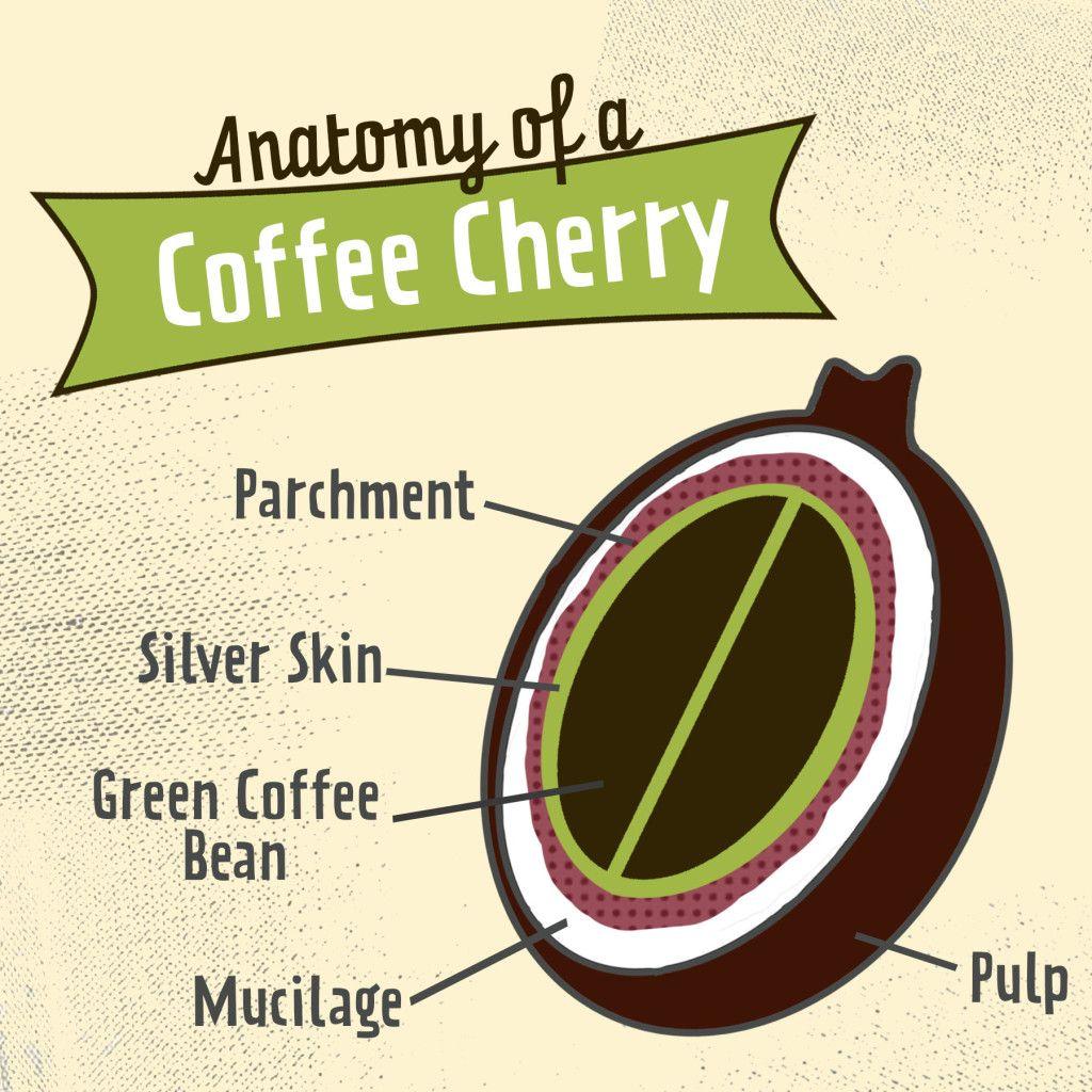 Anatomy of a Coffee Cherry | Caffeine Addiction | Pinterest | Cold ...