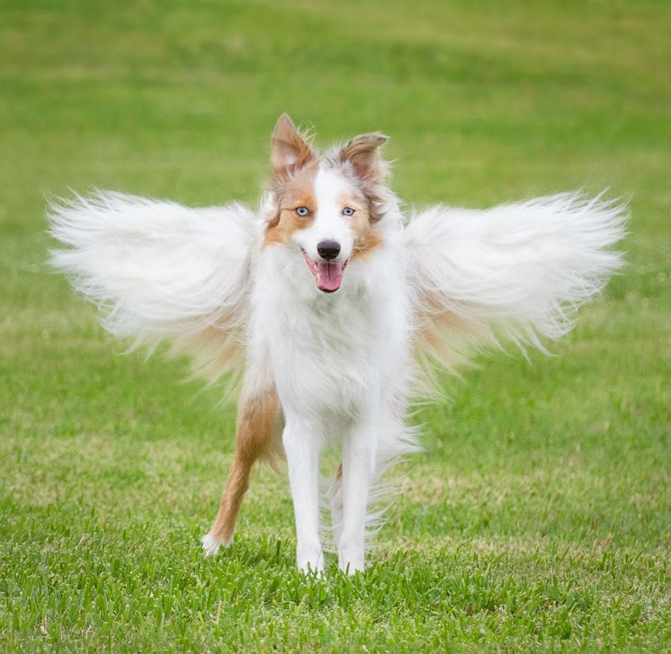 Angel Border Collie Creative Photo Edit With Dog S Tail Instagram Bordernerd Cute Puppies Dogs Puppies